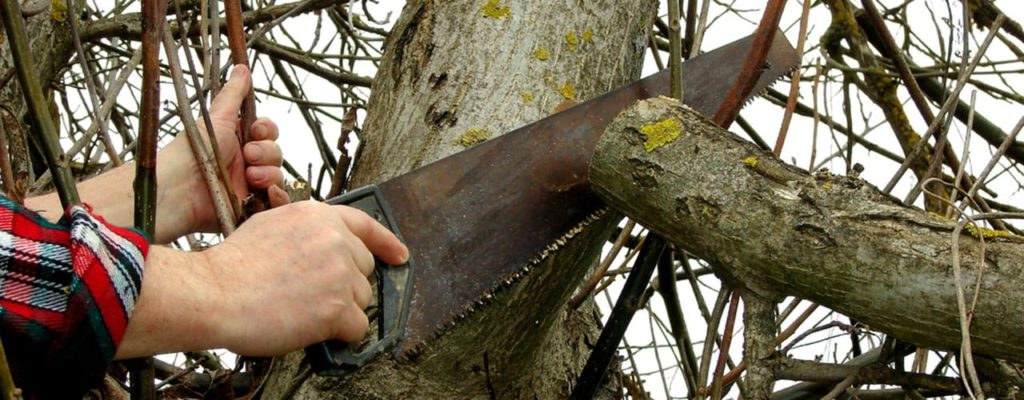Cutting Limb Close to Tree